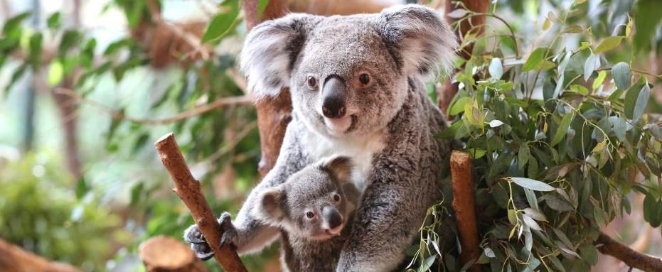 labihourderie Beauval zoological park mother koala with baby