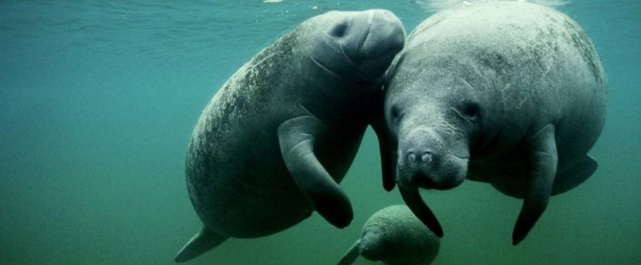 labihourderie beauval zoological park manatees