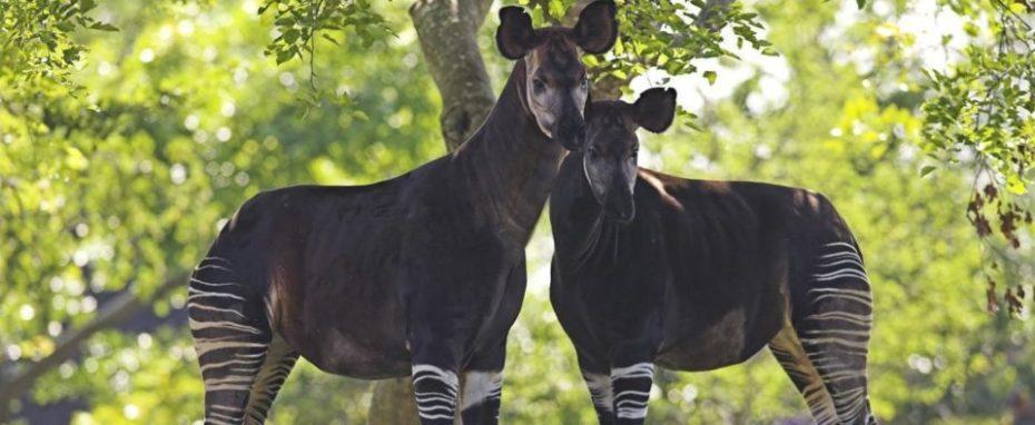 labihourderie Beauval zoological park okapi