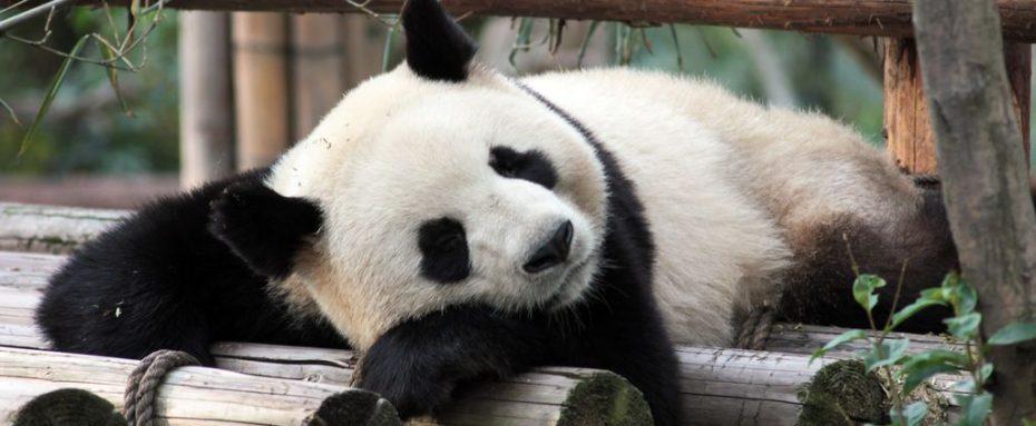 labihourderie zoo de beauval panda