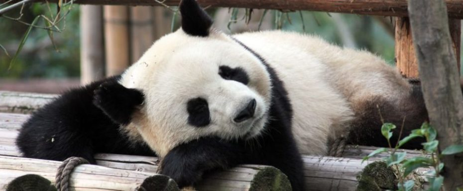 labihourderie Beauval zoological park giant panda relaxing